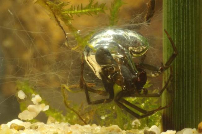 Argyroneta-aquatica-3-Waterspin-Saxifraga-Kees-Marijnissen-e1412428719283.jpg