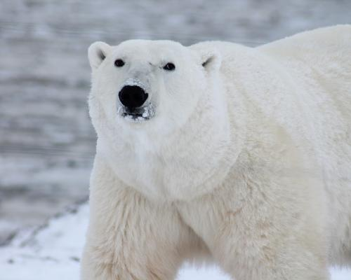 polar-bear_01.dc0455fd11ca8728fc67ab6ad7351ae0.jpg