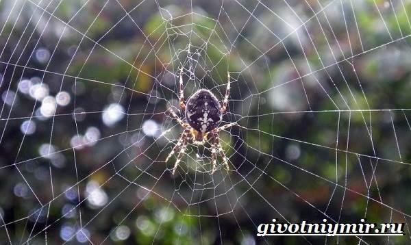 pauk-krestovik-obraz-zhizni-i-sreda-obitaniya-pauka-krestovika-4.jpg