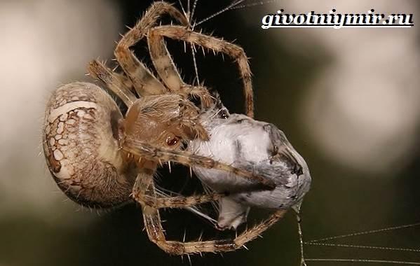 pauk-krestovik-obraz-zhizni-i-sreda-obitaniya-pauka-krestovika-8.jpg