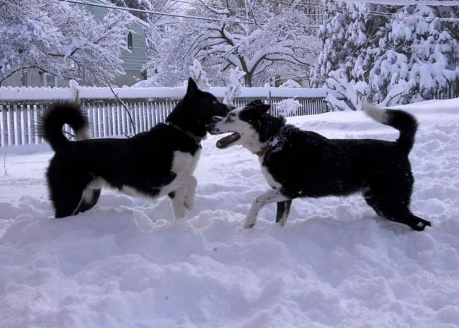 playing-karelian-bear-dogs-photo.jpg