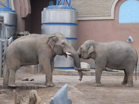 elephas-maximus_small_01.jpg