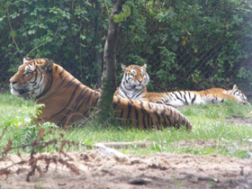 panthera-tigris-tigris_small_01.jpg