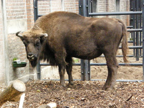 bison-bonasus_small_01.jpg
