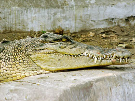 crocodylus-porosus_small_01.jpg