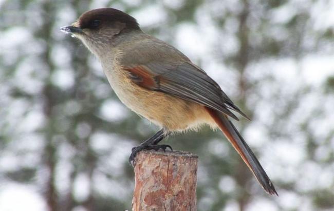 kuksha-samaja-malenkaja-ptica-iz-vseh-vranovyh-animalreader.ru-002-1024x649.jpg
