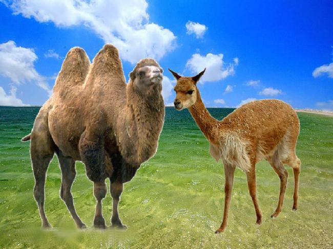 Лама и верблюд.jpg