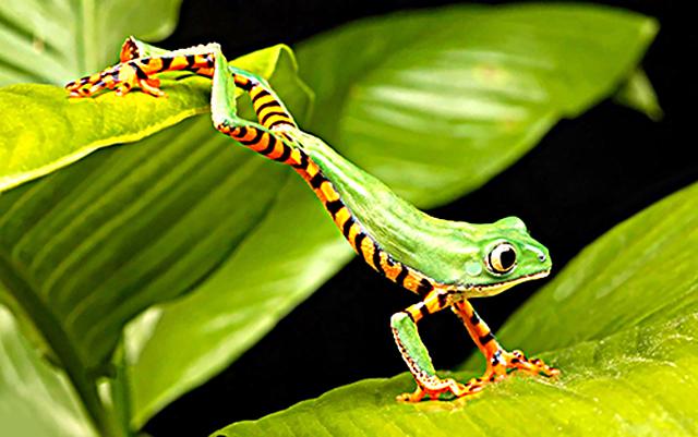 Древесные-лягушки-Жаба-Кваба.jpg