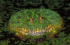 wornate-horned-frog.jpg