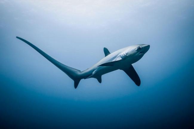 лисья-акула-1.jpg