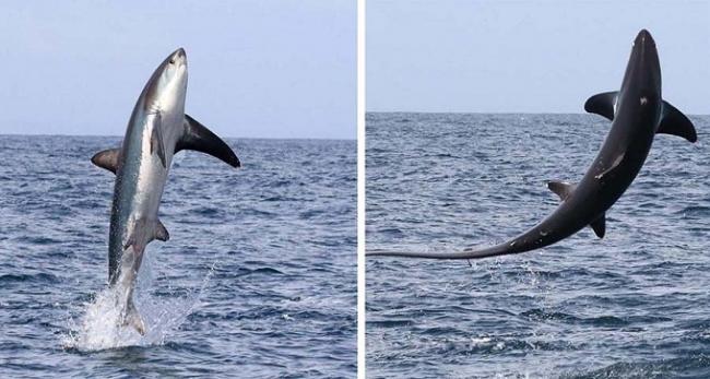 лисья-акула-2.jpg