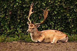 Deer_Shrubs_Horns_Lying_down_602504_600x400.jpg