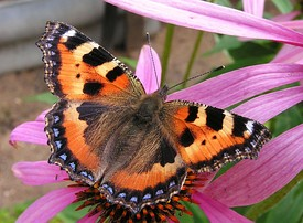 275px-Echinacea_purpurea%26Aglais_urticae20090813_121.jpg