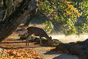 Parks_Deer_Autumn_Japan_Nara_Park_Foliage_599394_600x400.jpg