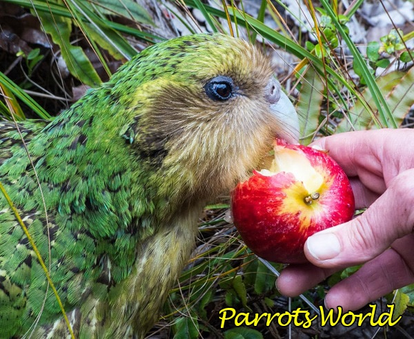 kakapo-est.jpg