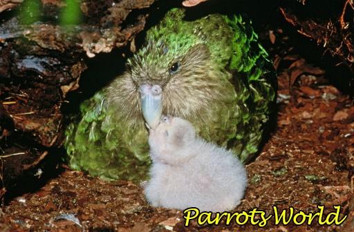 ptenec-kakapo.jpg
