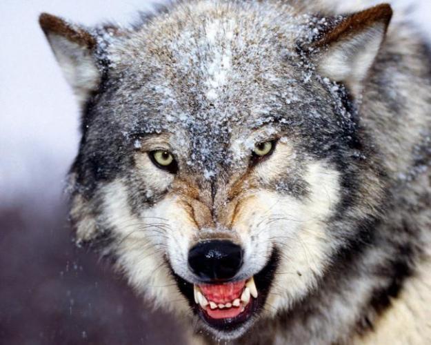sibirskij-volk.jpg