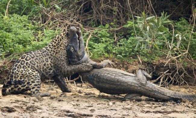 jaguar-and-a-caiman-fight-to-death_7-e1537098297937.jpg