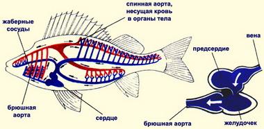 Krovenosnaya-sistema-ryib-krovoobrashhenie-ryib.jpg
