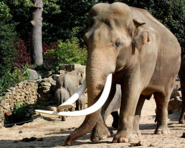 Aziatskij-slon.jpg