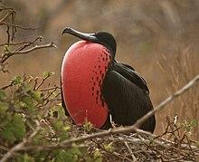 220px-Fregata_magnificens_-Galapagos%2C_Ecuador_-male-8_%281%29.jpg