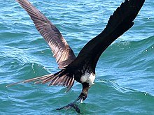 220px-Fregata_magnificens-female_fishing.jpg