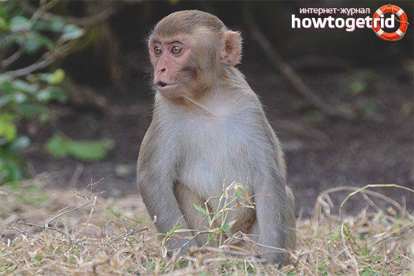 pitanie-makak-rezus.jpg