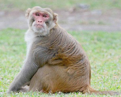 macaca-mulatta-2.jpg