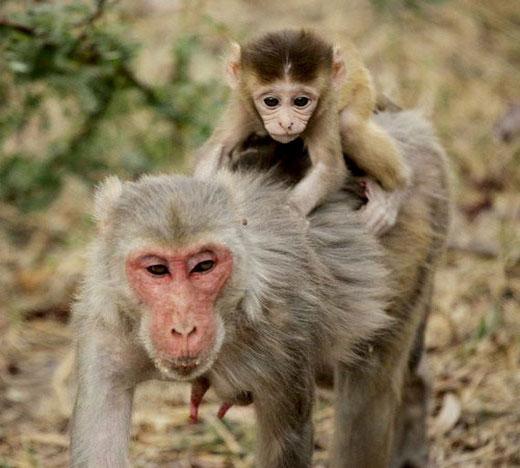 macaca-mulatta-3.jpg