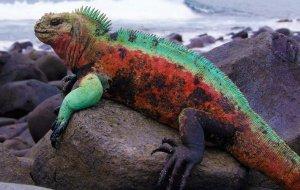 morskaja-iguanan.jpg