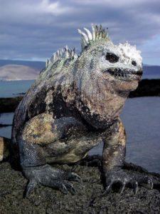 morskaja-iguana-v-soli-225x300.jpg