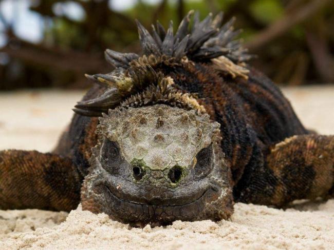 morskaja-iguana-neobychnyj-obitatel-galapagoss-animal-reader.ru-003-1024x769.jpg