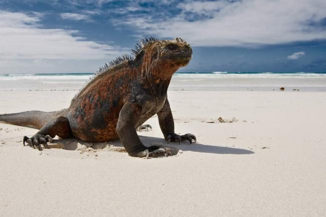 morskaja-iguana-neobychnyj-obitatel-galapagoss-animal-reader.ru_-1024x683.jpg
