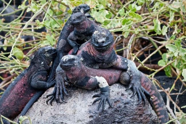 morskaja-iguana-neobychnyj-obitatel-galapagoss-animal-reader.ru-005-1024x683.jpg