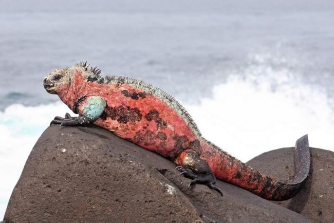 morskaja-iguana-neobychnyj-obitatel-galapagoss-animal-reader.ru-004-1024x684.jpg