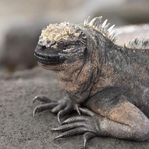 morskaja-iguana-neobychnyj-obitatel-galapagoss-animal-reader.ru-002.jpg
