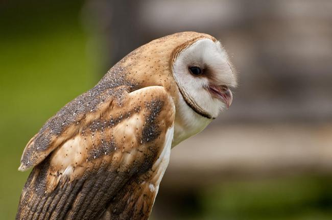 3-barn-owl-owl-images.jpg