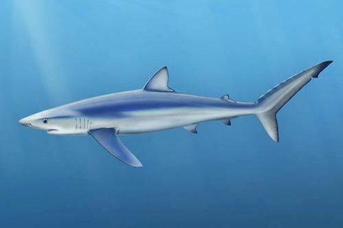 blue-shark-2.jpg