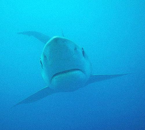 blue-shark-3.jpg