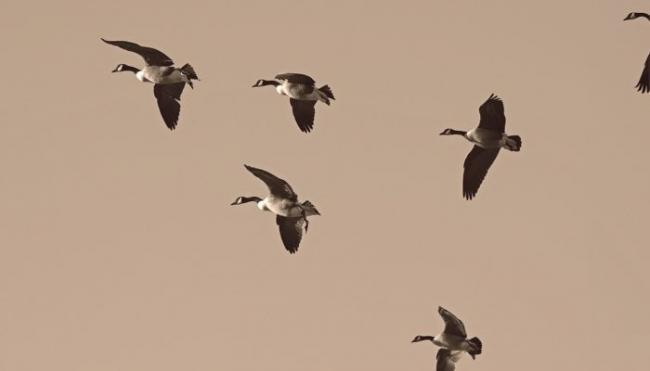 geese-2143952_1280-700x400.jpg