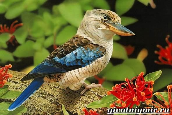kukabarra-ptica-obraz-zhizni-i-sreda-obitaniya-kukabarry-1.jpg