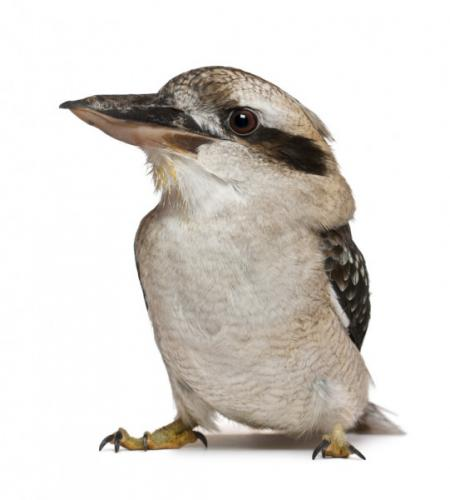 depositphotos_10907419-stock-photo-laughing-kookaburra-dacelo-novaeguineae-a.jpg