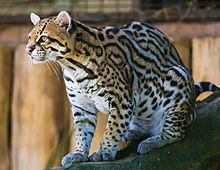 220px-Ocelot_%28Jaguatirica%29_Zoo_Itatiba.jpg