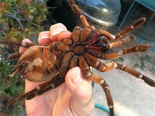 Птицеед-голиаф - самый большой паук в мире