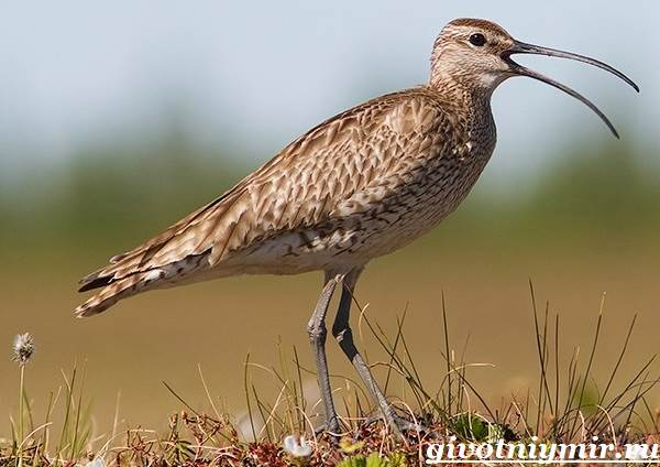 kronshnep-ptica-sreda-obitaniya-i-obraz-zhizni-kronshnepa-1.jpg