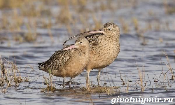 kronshnep-ptica-sreda-obitaniya-i-obraz-zhizni-kronshnepa-2.jpg