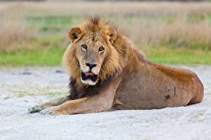 Lions_Lying_down_Glance_Bokeh_597583_600x399.jpg