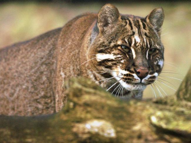 asian-golden-cat10-700x525.jpg