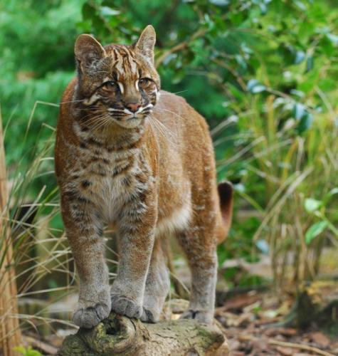asian-golden-cat-666x700.jpg
