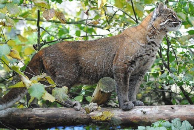 asian-golden-cat2-700x469.jpg
